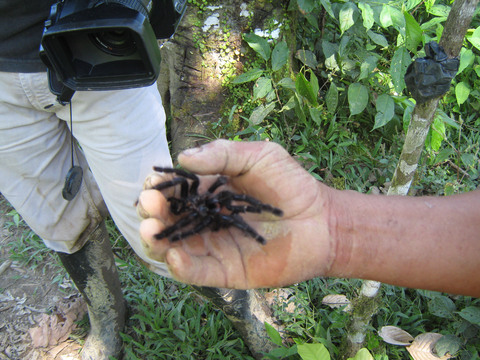 Wildlife is everywhere in Ecuador, including this tarantula shell that was molted by the spider as part of its growth process.  A guide holds the spider, which is being filmed for a documentary on Ecuador's public TV channel.