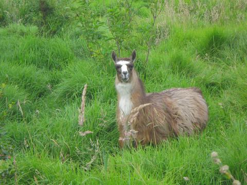 A llama grazing along the roadside outside of Quito.