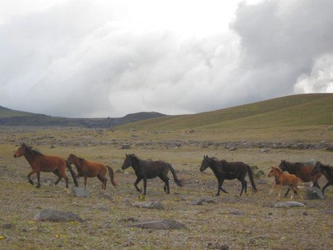 Wild horses running in Cotopaxi National Park.