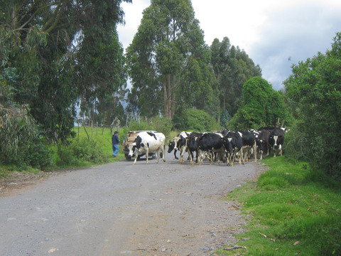 Bovine roadblock.