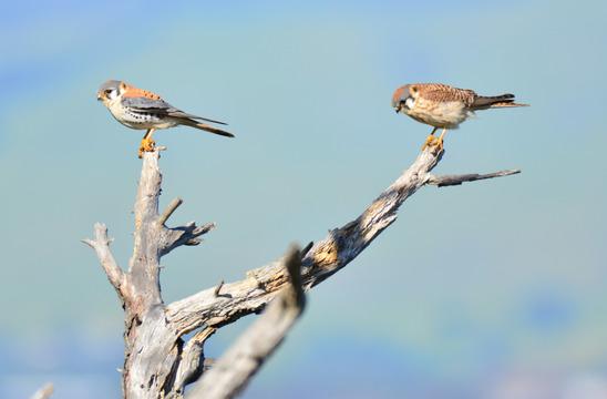 American Kestrels, Coyote Hills Regional Park.