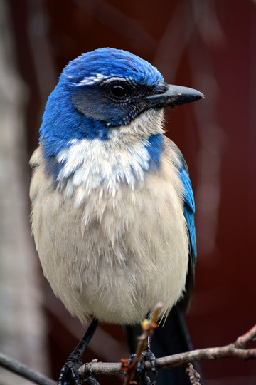 California Scrub Jay, Oakland, California. This guy lives a few doors down from me.
