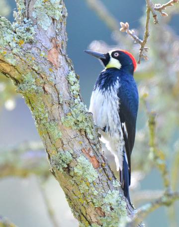 Acorn Woodpecker, Sunol Regional Wilderness.
