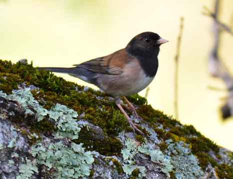 Dark Eyed Junco, Sunol Regional Wilderness.