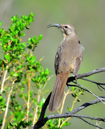 California Thrasher, Sunol Regional Wilderness.