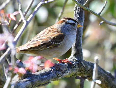 White Crowned Sparrow, Sunol Regional Wilderness.