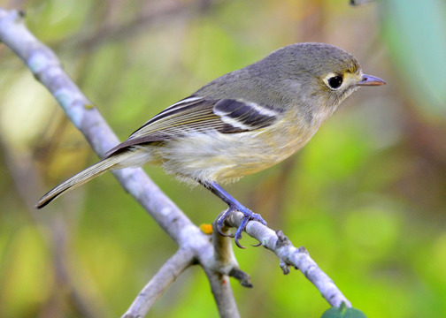 Hutton's Vireo, Sunol Regional Wilderness. Easy to confuse with a ruby-crowned kinglet, but the non-black beak and lack of orange feet show this one is Hutton's.
