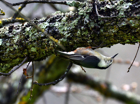 Nuthatch, Sunol Regional Wilderness.