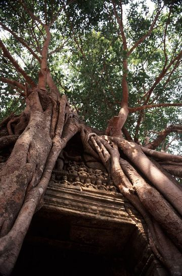 Trees engulf part of a temple, Ta Prohm.