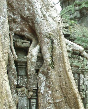 Roots squeezing rocks, Ta Prohm, Angkor.