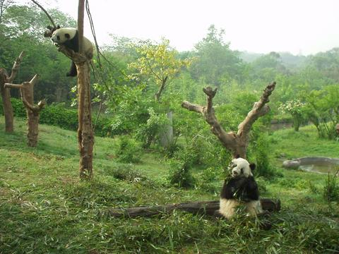 Pandas lounging at the Chengdu Panda Research Center.