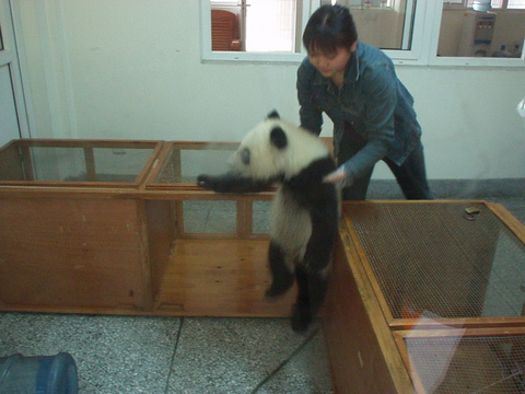 Baby Panda at the Chendu Giant Panda Breeding Research Center.