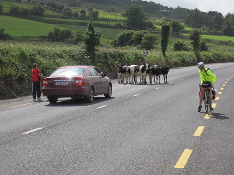 Cows in the Road, Cty. Kilkenny.