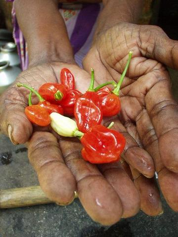 Chili peppers in the backwaters of Kerala, India.