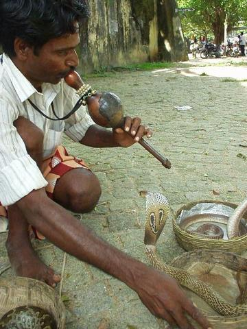 Snake charmer pulling out the cobras in Fort Cochin.