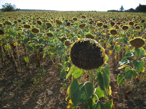 Sunflowers were a common sight along the road.  They were all large and droopy, heavy with seed and soon for harvest.