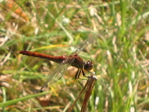 Dragonfly in the Forêt d'Orléans.