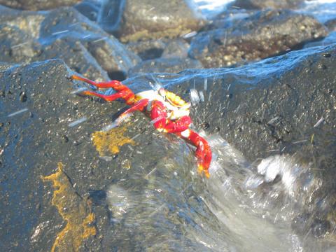 Sally lightfoot crab on Tortuga Bay beach.
