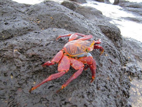 Sally lightfoot crab on Tortuga Bay beach.