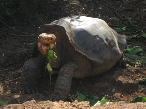 Galapagos tortoise (eating).