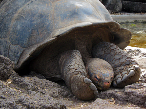Galapagos tortoise (napping).