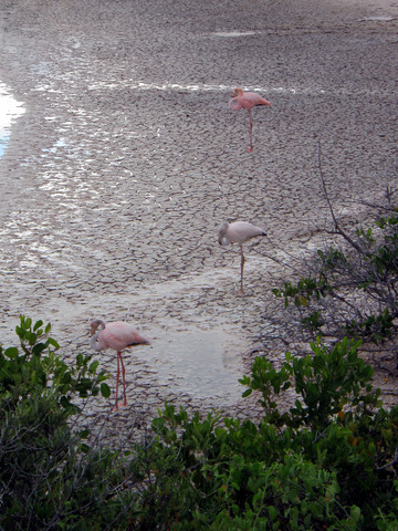 Flamingoes in Lagoon at Point Cormorant, Floreana Island.