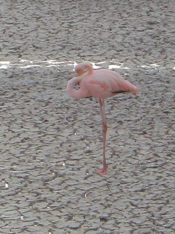 Flamingo in lagoon at Point Cormorant, Floreana Island.