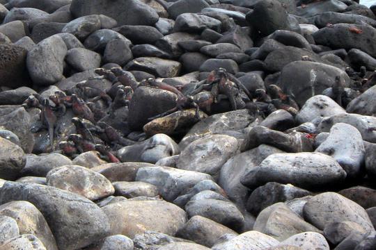 More marine iguanas.