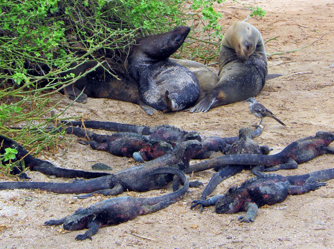 Still more marine iguanas.