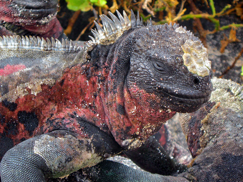 Closeup profile of . . . marine iguana.