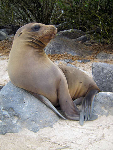 Sea lion juvenile.