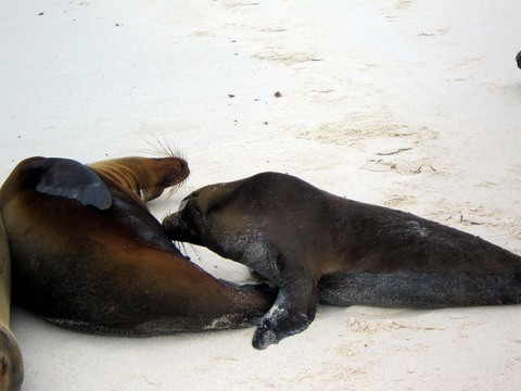 Sea lion (nursing).