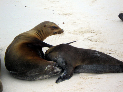 Sea lion (tired of nursing).