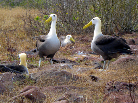Male albatrosses, fencing to impress the ladies.
