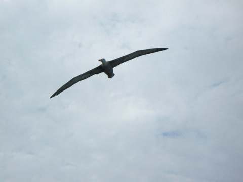 Albatross in flight.