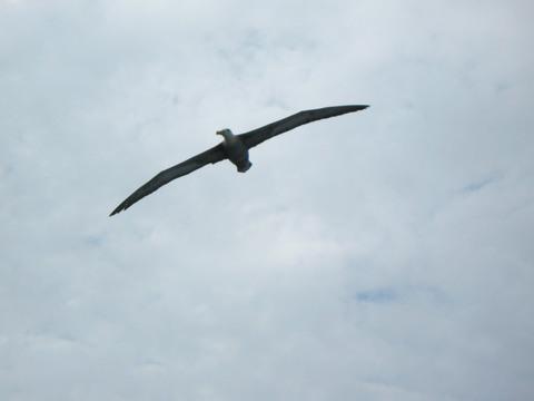 Albatross in flight.