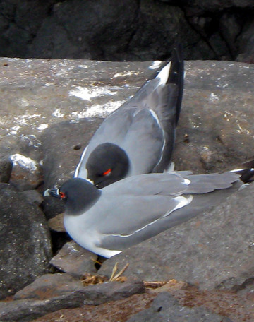 Swallow tailed gulls.