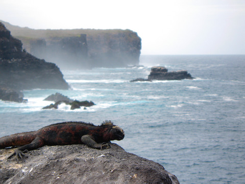 Marine iguana. These guys go swimming in the ocean for food, and in some cases (like this one) regularly climb up hundred-foot cliffs just for a good spot to sunbathe.