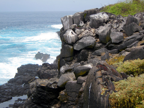 Carefully hidden marine iguanas.