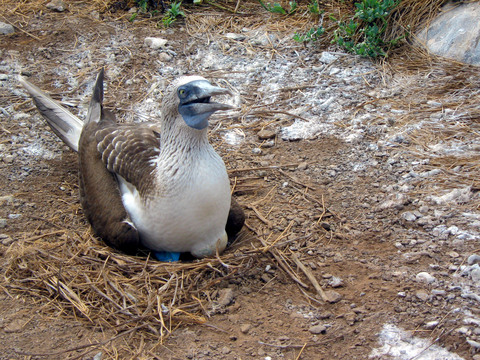 Nesting booby -- note the egg underneath.
