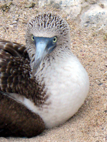 Blue footed booby.