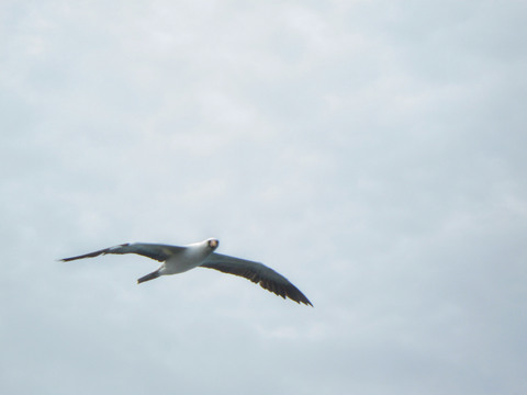 Masked booby (flying by).