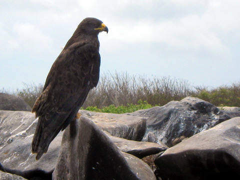 Galápagos Hawk, famous for its indifference to humans, polyandrous mating, and status as the only endemic predator in the Galápagos.