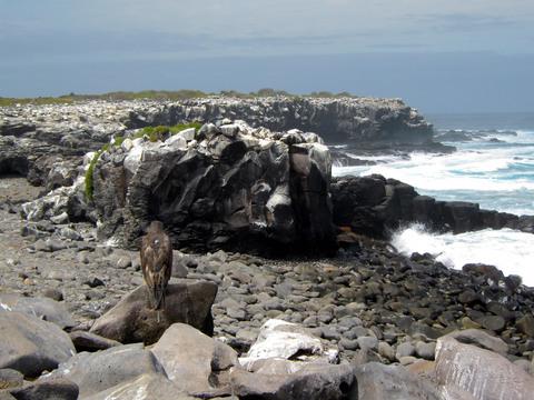 Galápagos Hawk surveying its domain.