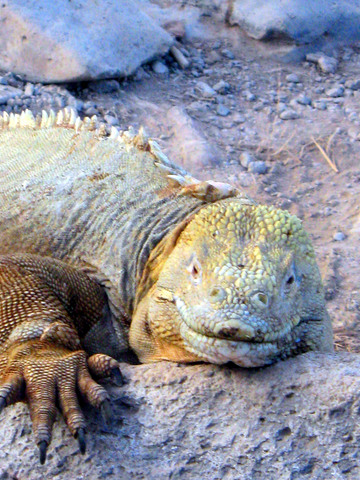 Land iguana. Larger and less common/numerous than marine iguanas.
