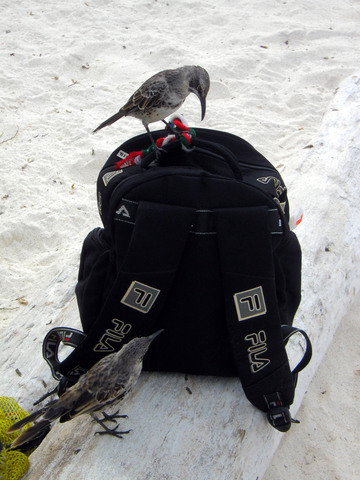 The Galápagos Mockingbird may be the most fearless creature of them all.