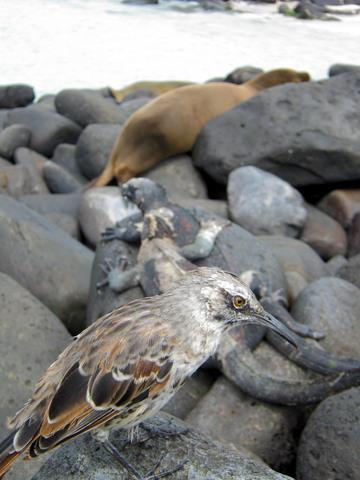 So, just to review: Galápagos mockingbird; marine iguana; sea lion.