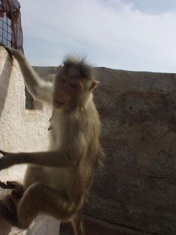 Monkey at the Hanuman temple near Hampi.