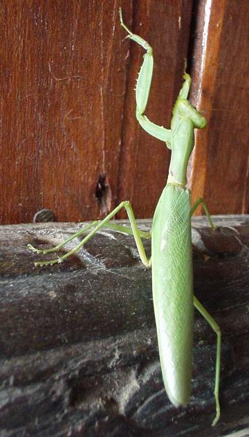 Preying mantis, Don Kong, Laos.