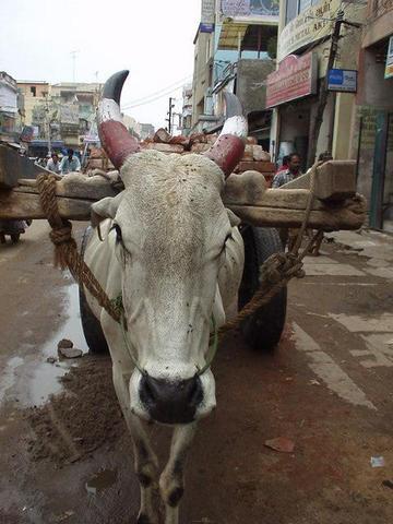 Brahma bull, Madurai.